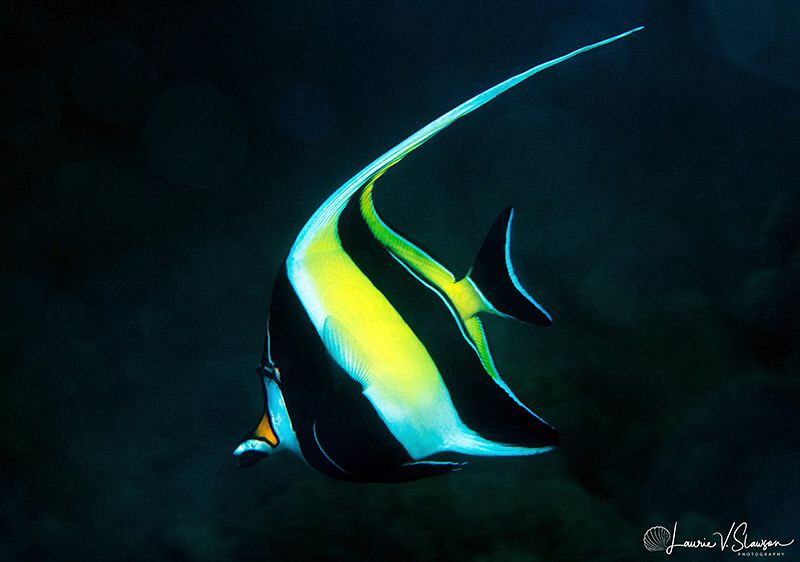 Moorish Idol/Photographed with a Canon 60 mm macro lens a... by Laurie Slawson