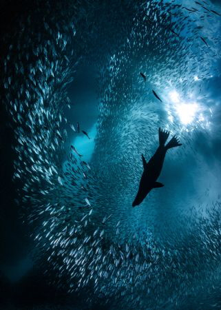 A lone California Sea Lion breaks the school of Sardines ... by Nick Polanszky