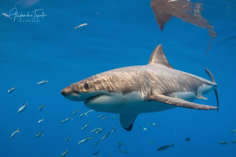 White shark and blue, Isla Guadalupe Mexico by Alejandro Topete