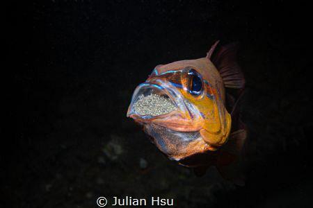 Mouthbrooding Cardinalfish by Julian Hsu