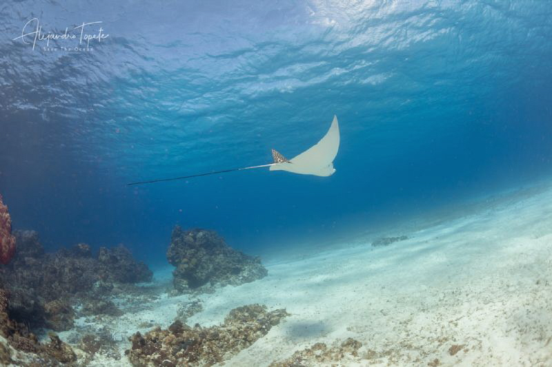 Eagle Ray in the Reef, Cozumel México by Alejandro Topete