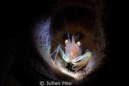 Commensal sponge shrimp by Julian Hsu