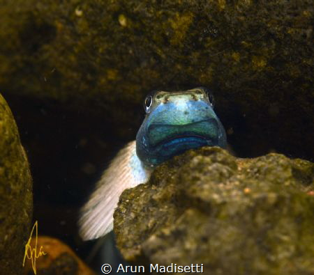 A loach in a rain forest stream by Arun Madisetti