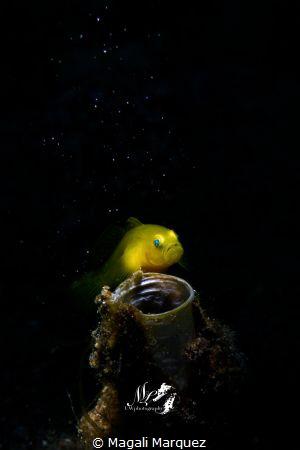 Yellow Gobyfish looking at the stars  Nikon D7200  Sea&... by Magali Marquez