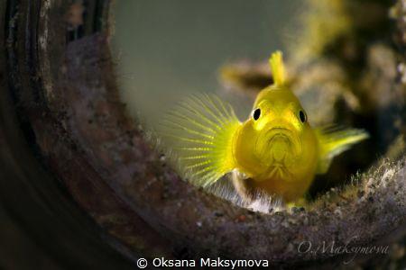Lemon goby (Lubricogobius exiguus) by Oksana Maksymova