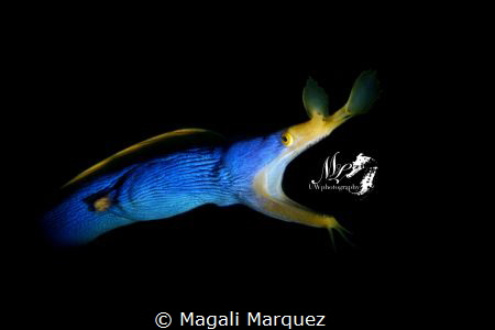 Ribbon Eel(Rhinomuraena quaesita) with Retra snoot 