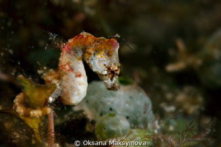 Pontoh's pygmy seahorse (Hippocampus pontohi) by Oksana Maksymova