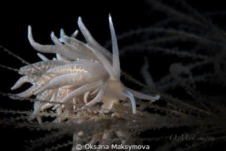 Nudibranch Phyllodesmium iriomotense by Oksana Maksymova