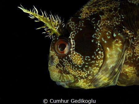Parablennius gattorugine by Cumhur Gedikoglu