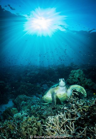 Resting turtle at beautiful house reef in Raja Ampat by Roine Gabrielsson