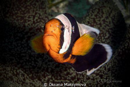 Anemone fish with shrimp by Oksana Maksymova