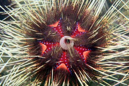 Eyeball Urchin - Anyone know the real name for this thing... by Dallas Poore