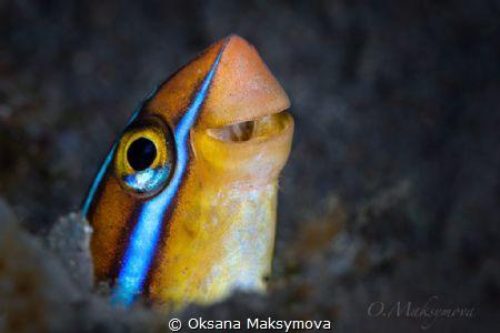 Bluestriped fangblenny (Plagiotremus rhinorhynchos) by Oksana Maksymova