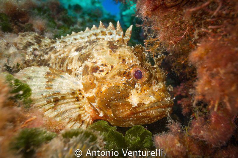 Mediterranean scorpion fish  (Canon wide angle 14mm,1/16... by Antonio Venturelli