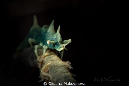 Dragon shrimp (Miropandalus hardingi) by Oksana Maksymova
