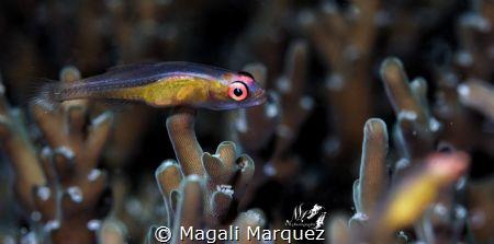 Yoga fish  Pinkeye Goby(Bryaninops natans)   by Magali Marquez