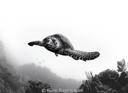 Handsom looking turtle on the north side of roatan honduras by Rune Rasmussen
