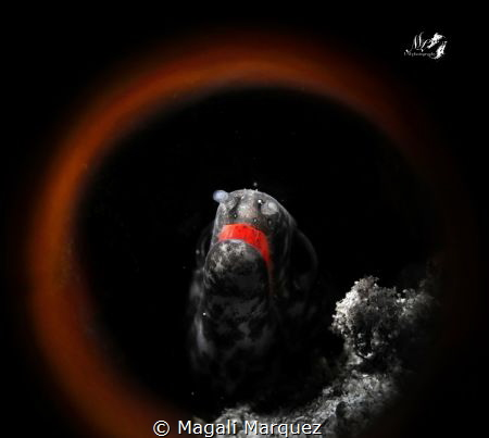 🔥🔥Ring of fire🔥🔥 Spotted morey eel with dream circle... by Magali Marquez