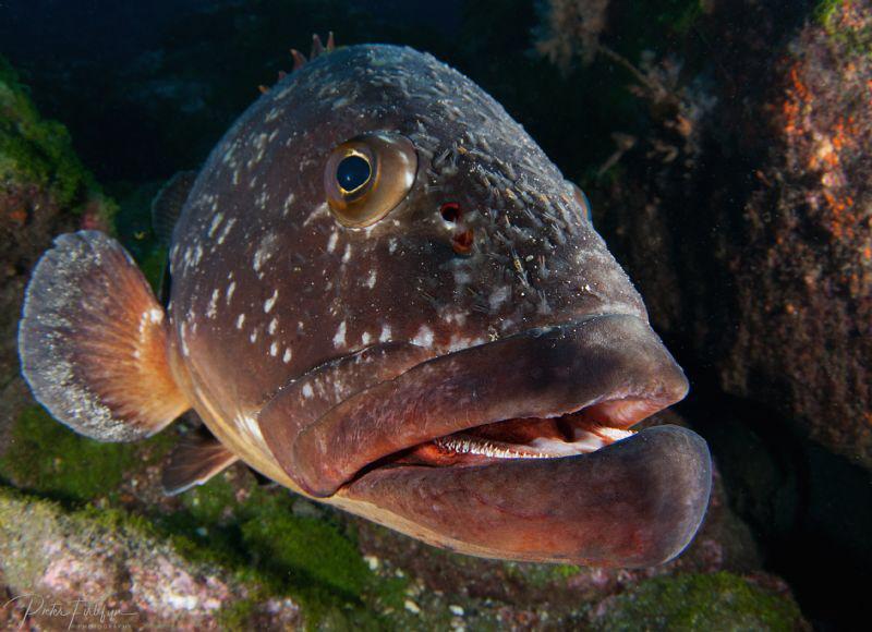 grouper by Pieter Firlefyn