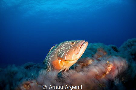 Dusky grouper posing for a shot over the volcanic rock bo... by Arnau Argemi