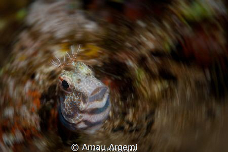 Ringneck blenny popping out of a hole. Modified with a sp... by Arnau Argemi