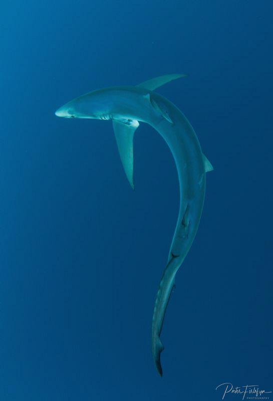 Silhouet of a blue shark by Pieter Firlefyn