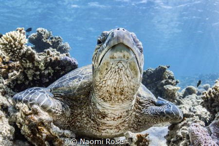 A sleepy Green Sea Turtle lazily peeks out of one eye to ... by Naomi Rose