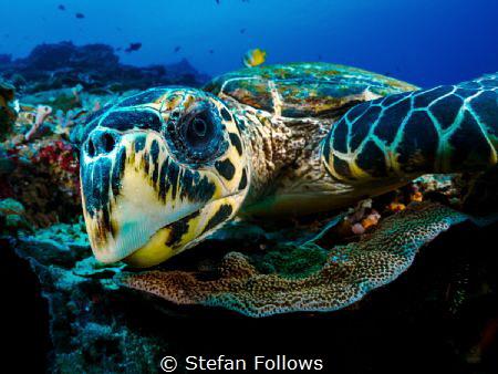 WTF! Hawksbill Turtle - Eretmochelys imbricata Bali, In... by Stefan Follows