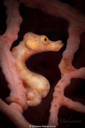 Denise's pygmy seahorse (Hippocampus denise) by Oksana Maksymova