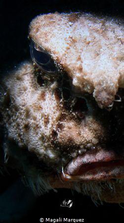 Portrait Shortnose Batfish (Ogcocephalus nasutus) Nikon ... by Magali Marquez