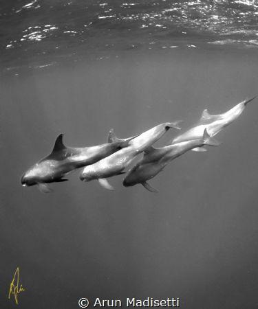 False killer whales by Arun Madisetti