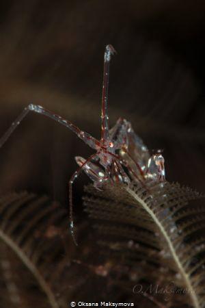 Red-Strip Skeleton shrimp (Protella similis) by Oksana Maksymova