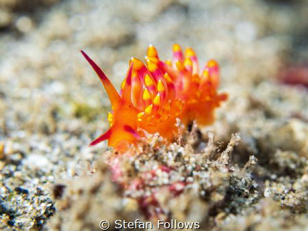 Emblazoned  Nudibranch - Trinchesia sibogae  Bali, In... by Stefan Follows