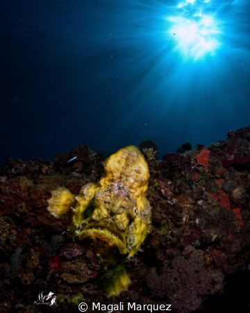 Double exposure  Yellow Longlure frogfish (Antennarius m... by Magali Marquez