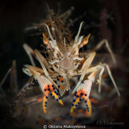 Spiny tiger shrimp (Phyllognathia ceratophthalma by Oksana Maksymova