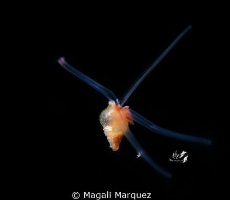 Pelagic snail  Bonfire Aguadilla Puerto Rico by Magali Marquez