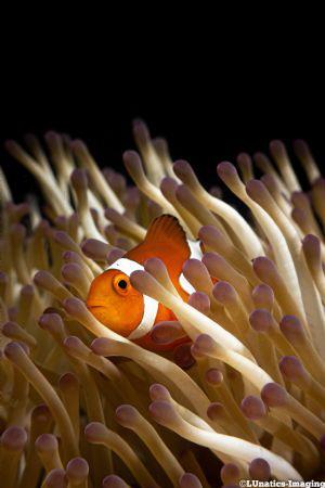 A little orange clownfish in his natural habitat. by Luca Keller
