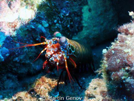 Mantis shrimp shot during my liveaboard trip to Maldives.... by Martin Genov