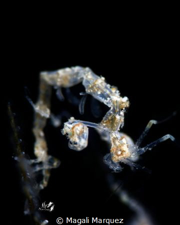Skeleton Shrimp (Caprellidae) by Magali Marquez