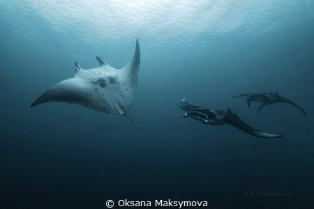 Manta Rays in the blue of Indian Ocean  by Oksana Maksymova