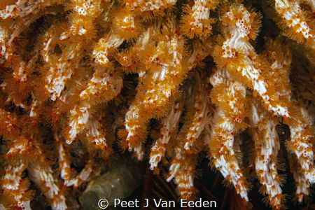 The Curtain. Filigreed coral- worms with their delicate w... by Peet J Van Eeden