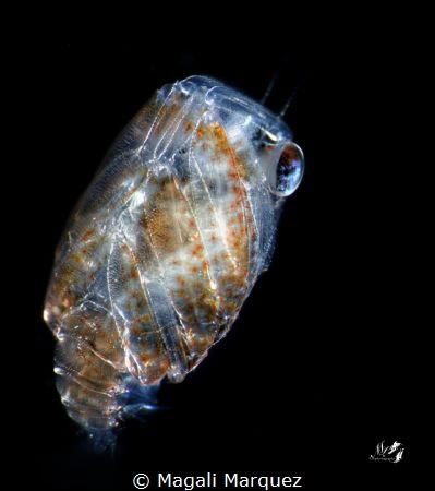 Small Crab Megalopa larva Nikon D7200  Sea&Sea YS-D2, Z... by Magali Marquez
