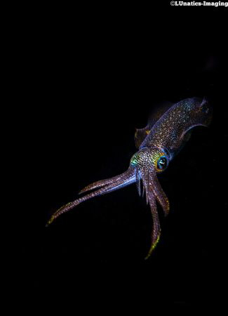 Reef squid presenting its colourful luminescent skin. by Luca Keller