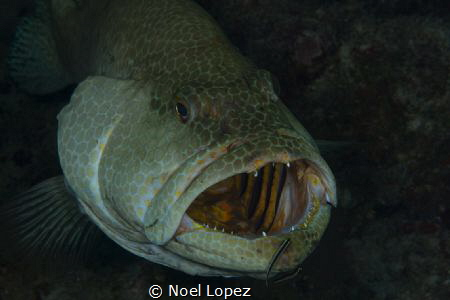 tiger grouper in a cleaning station. nikon D800, nikon le... by Noel Lopez