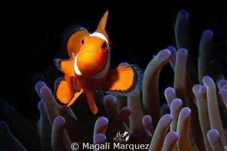 Clownfish with Retra snoot by Magali Marquez