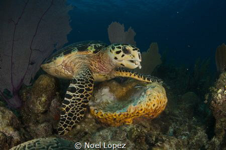 turtle feeding on sponge, nikon D800E, tokina lens 10-17m... by Noel Lopez