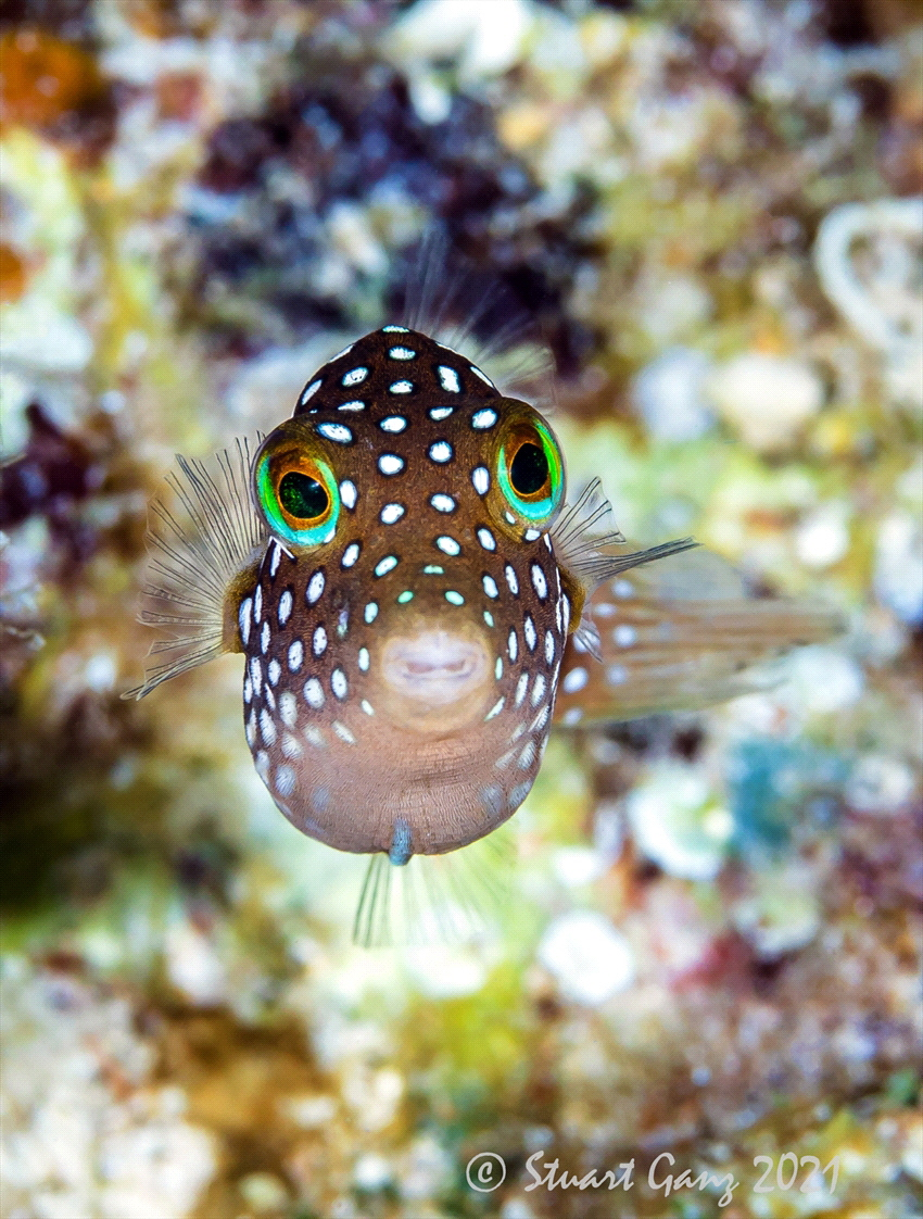Hawaiian Whitespotted Toby, a common fish on the reefs in... by Stuart Ganz