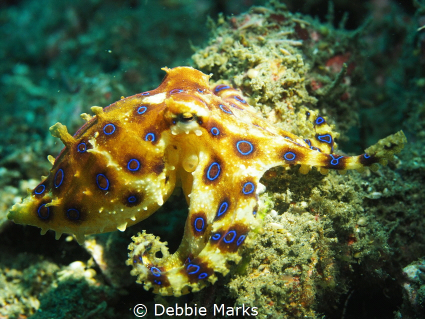 This was my first encounter with a blue ring octopus and ... by Debbie Marks