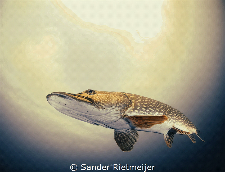 I met this beautiful pike while freediving. by Sander Rietmeijer