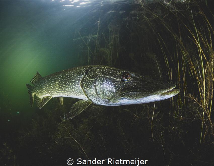 Dutch monster pike by Sander Rietmeijer
